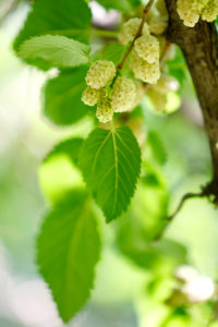 Ripe mulberry on the branches